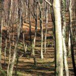 brdska bukova šuma