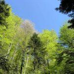panonska bukovo jelova šuma